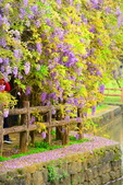 2017-04-15/17大湖公園紫藤的誘惑: