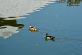 戲水鴛鴦+白鵝+鴨子洗澡: