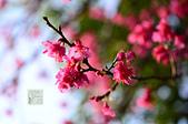 20140216春櫻:DSC_1609.jpg