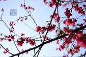 20140216春櫻:DSC_1611.jpg