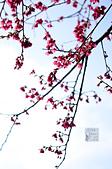 20140216春櫻:DSC_1614.jpg