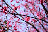 20140216春櫻:DSC_1622.jpg