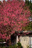 20140216春櫻:DSC_1628.jpg
