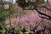 20140216春櫻:DSC_1637.jpg