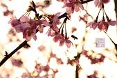 20140216春櫻:DSC_1656.jpg