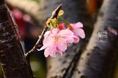 20140216春櫻:DSC_1664.jpg