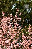20140216春櫻:DSC_1667.jpg