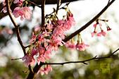 20140216春櫻:DSC_1674.jpg