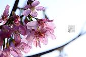 20140216春櫻:DSC_1682.jpg