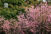 20140216春櫻:DSC_1690.jpg