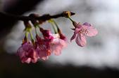 20140216春櫻:DSC_1702.jpg