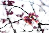 20140216春櫻:DSC_1765.jpg