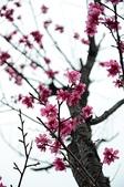 20110213櫻花祭-初春:DSC_1532-s