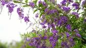 2018.04.21 紫色花牆:2018.04.21 紫色花牆 (9).jpg