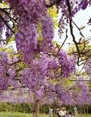 2019.03.27 紫藤花海:2019.03.27 紫藤 (21).jpg