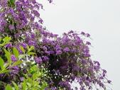 2018.04.21 紫色花牆:2018.04.21 紫色花牆 (47).jpg