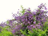 2018.04.21 紫色花牆:2018.04.21 紫色花牆 (54).jpg