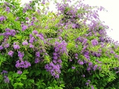 2018.04.21 紫色花牆:2018.04.21 紫色花牆 (50).jpg