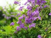 2018.04.21 紫色花牆:2018.04.21 紫色花牆 (20).jpg