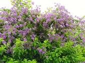 2018.04.21 紫色花牆:2018.04.21 紫色花牆 (49).jpg