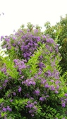 2018.04.21 紫色花牆:2018.04.21 紫色花牆 (60).jpg
