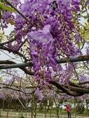 2019.03.27 紫藤花海:2019.03.27 紫藤 (12).jpg