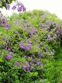 2018.04.21 紫色花牆:2018.04.21 紫色花牆 (55).jpg