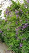 2018.04.21 紫色花牆:2018.04.21 紫色花牆 (31).jpg