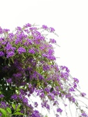 2018.04.21 紫色花牆:2018.04.21 紫色花牆 (48).jpg