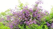 2018.04.21 紫色花牆:2018.04.21 紫色花牆 (51).jpg