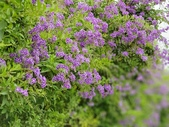 2018.04.21 紫色花牆:2018.04.21 紫色花牆 (42).jpg