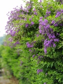 2018.04.21 紫色花牆:2018.04.21 紫色花牆 (57).jpg