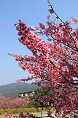 2014-01-30_平菁街櫻花 (除夕):平菁街櫻花巷