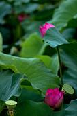 2014-07-12_竹北新瓦屋荷花池:冷色調~