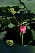 2014-07-12_竹北新瓦屋荷花池:IMG_7115.jpg