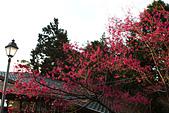 2014-03-10_阿里山拼命行:櫻花