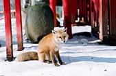 [Film 49] 藏王狐狸村、角館、大內宿 (2019冬):這隻的毛不澎,感覺瘦巴巴的有點可憐 XD