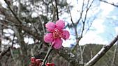 2011-02-20_武陵農場賞櫻行:桃紅色的梅花 -- 『冬至』