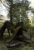 2013-03-22_阿里山森林遊樂區:三代木
