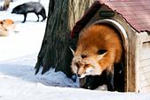 [Film 49] 藏王狐狸村、角館、大內宿 (2019冬):不得不說,狐狸跟狗超像的阿!這是一個分不清是狗窩還是狐狸窩的畫面 XD