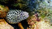2017年11月,平常日的小琉球海底三日遊 (NO. 145~151):鰻