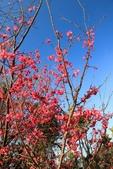 2013年02月_蛇年新春到處行:盛開的櫻花 @猴探井