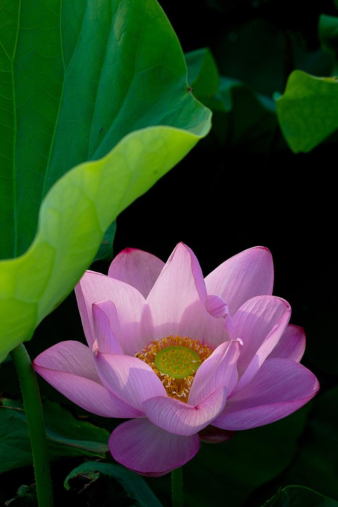2014-07-19_觀音蓮花季:一直在等蜜蜂離開,唯一成功的一張剛好來了一道陽光!!!