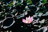 [Film 46] 2018下半年,植物園、烏嘎彥、大峽谷、油田農塘秀水龍騰、靜心湖:000031.jpg