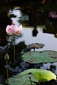 2014年07月的華山荷塘:IMG_7278.jpg