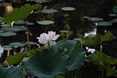 2014年07月的華山荷塘:IMG_7262.jpg