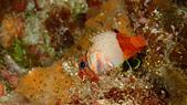 2017年11月,平常日的小琉球海底三日遊 (NO. 145~151):魚 XD