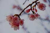 """2014-01-18_清大梅園 & 平菁街42巷:手震糊成一團的寒緋櫻 >""""<"""