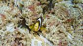 2017年11月,平常日的小琉球海底三日遊 (NO. 145~151):住在另一種海葵的Nemo