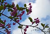 2013-03-22_阿里山森林遊樂區:逆光櫻